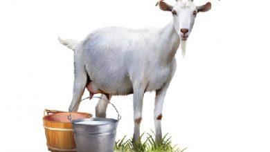 Photo of مقایسه شیر بز با شیر گاو